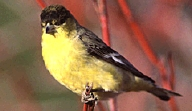 Photo: Lesser Goldfinch.