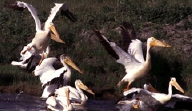 Photo: White Pelicans.