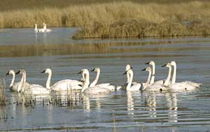 Photo: Tundra Swans.