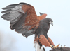 Photo: Harris's Hawk